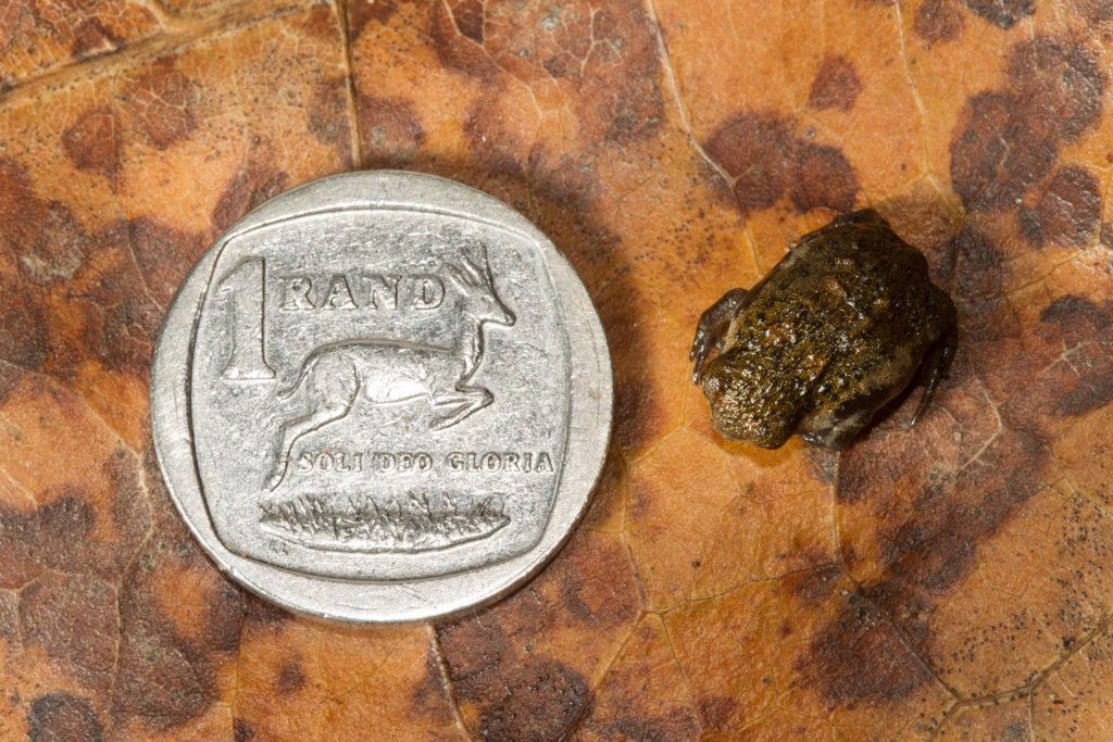 Breviceps_adspersus_pentheri_Bushveld_Rain_Frog_Tyrone_Ping_coin